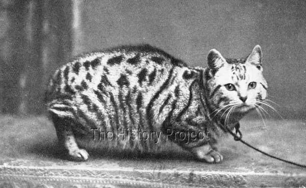 15 best Manx Cats images on Pinterest | Manx, Manx cat and ...  |Manx Cat History